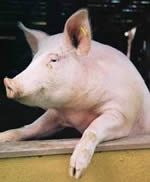 porc Pesta porcina africana, confirmata in doua gospodarii din Buzau
