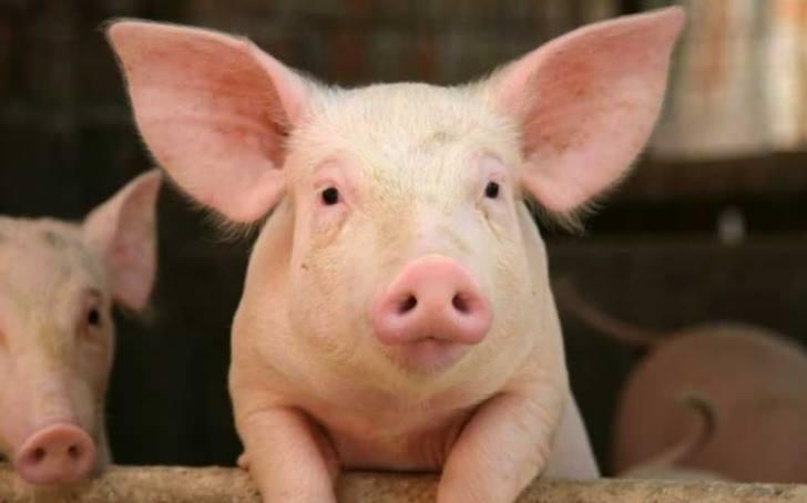 porci ANSVSA: sunt peste 950 de focare de pesta porcina africana in 233 de localitati