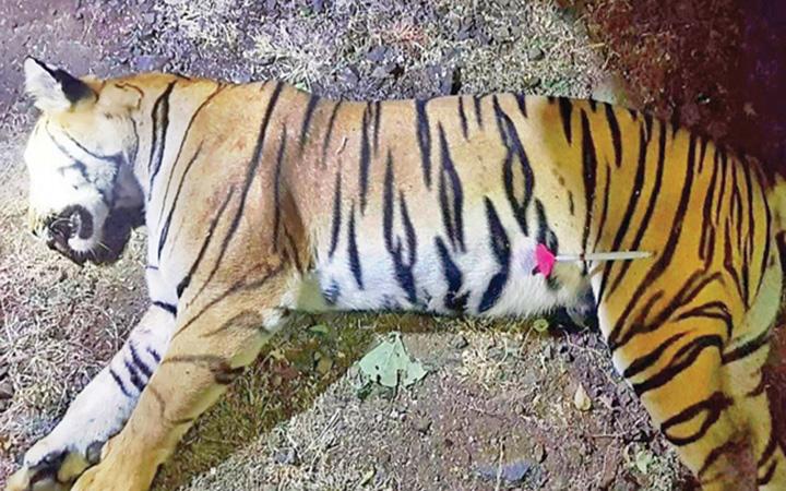 tigru medalion 13 persoane ucise de o tigroaica