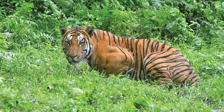 tigru 13 persoane ucise de o tigroaica