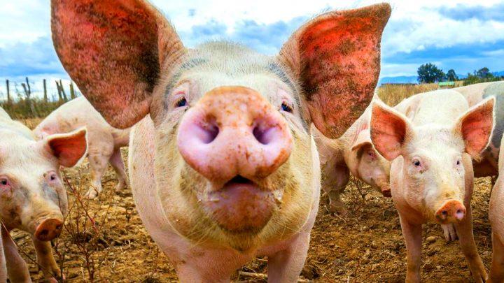 porci cresterea porcilor in gospodarii 720x405 România poate interzice creșterea porcilor în gospodării